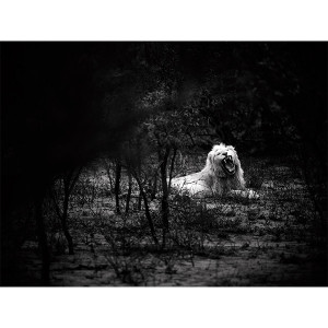 White Lions Photograph Thorny Bush Yawn Matsieng FCV Photography