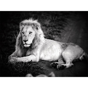 White Lion  Photograph Prince Zukhara FCV Photography