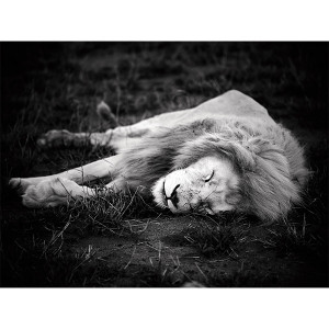 White Lions Photograph Siesta - Mandla - FCV Photography