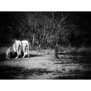 White Lions Photograph Down at the Waterhole