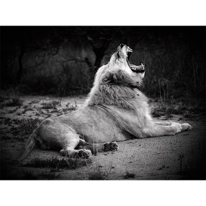 White Lions Photograph Lion Pose
