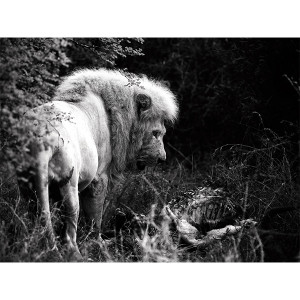 White Lion Photograph Gratitude FCV Photography