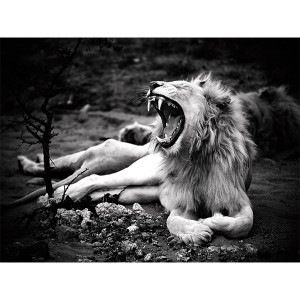 White Lions Photograph Zukhara Royal Yawn FCV Photography