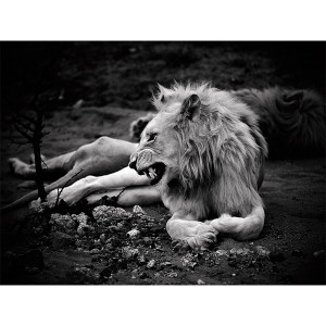 White Lion Photograph Royal Yawn 3 Zukhara FCV Photography